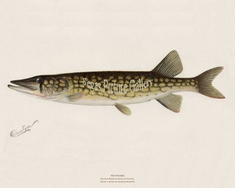 Fish Print of the Pickerel from a Pond in Massachusetts by Sherman F Denton (1902)